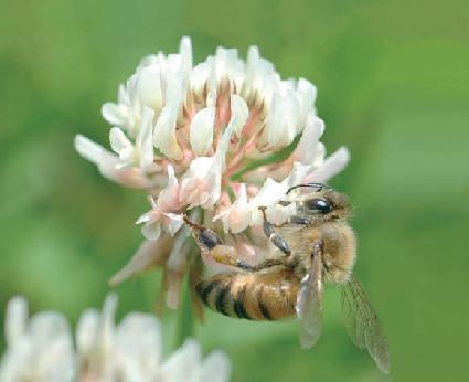 Honungsbi på Vitklöver